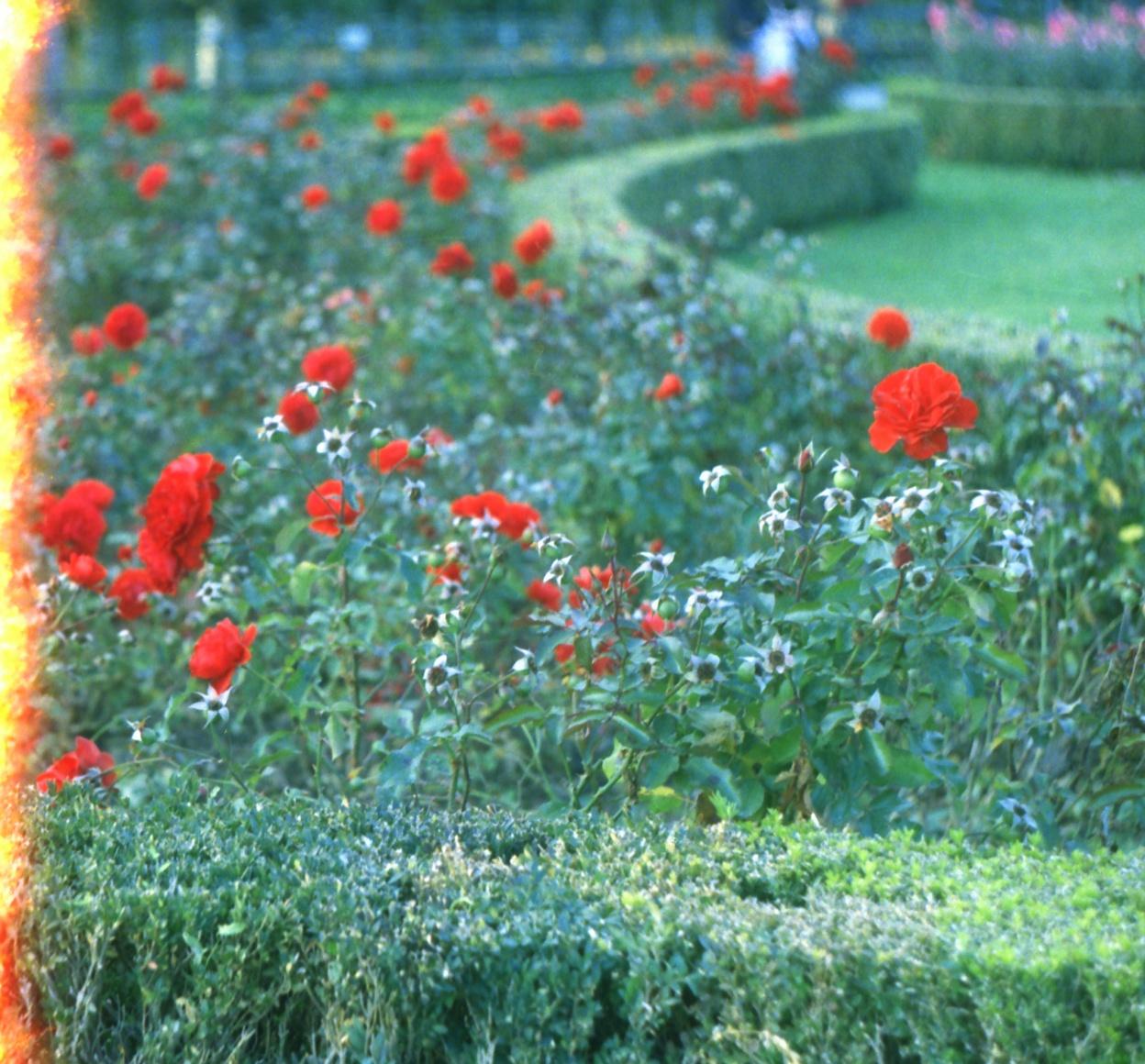 Volksgarten Rose